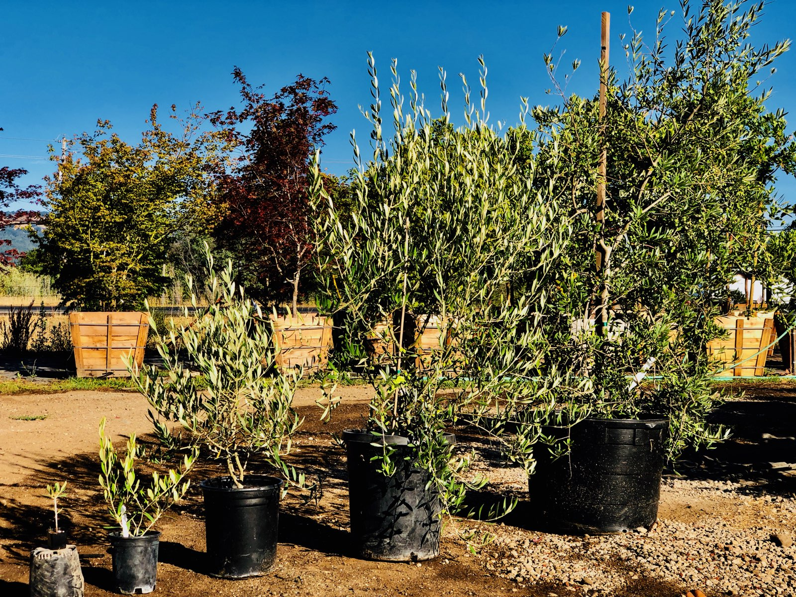 The Evolution of the Olive Tree - Sonoma Valley Wholesale